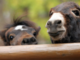 Two Miniature Horses Look out from Their Pen at the Staten Island Zoo Photographic Print