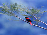 A Maroon Oriole Rests on a Branch Photographic Print