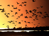 A Flock of Waterfowl Photographic Print