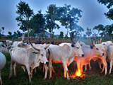 A Fulani Nomad Herds Cattle at Dusk in Abuja, Nigeria Photographic Print