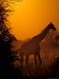 Southern Giraffe and Acacia Tree, Moremi Wildlife Reserve, Botswana Photographic Print by Pete Oxford