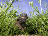 Mary, a 375 Pound Aldabra Tortoise, Peeks Through the Greenery Photographic Print