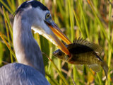 A Great Blue Heron Spears its Dinner While Hunting Photographic Print