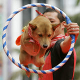 A Dog Jumps Over a Cicrle During the Performance from the Dog Circus of Japan Photographic Print