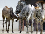 Zebras in the Berlin Zoo Enjoys Bright Sunshine Photographic Print