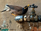 A Nightingale Quenches its Thirst from a Leaking Tap During a Sizzling Day Photographic Print