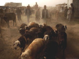 Man Leads a Herd of His Sheep at a Livestock Market Photographic Print