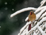 A Cardinal Waits its Turn at a Birdfeeder on a Snow-Covered Tree Photographie