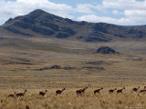 Protected Vicunas, Run on an Andean Plain Near Ayacucho Photographic Print