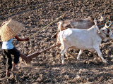 A Farmer Shields from the Sun with a Basket as He Ploughs a Field on the Outskirts of Bhopal Photographic Print