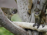 Two Allen's Swamp Monkeys Sit in a Tree Photographic Print