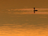A Bird Swims at Sunset on the Nasice Fish Pond Photographic Print