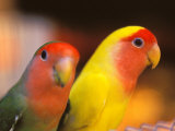 Love Birds, Yuen Po Street Bird Market, Hong Kong, China Photographic Print by Stuart Westmoreland