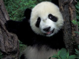 Panda Cub with Tree, Wolong, Sichuan Province, China Photographic Print by Keren Su
