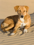 Dog Lying in Sand Dunes, Thar Desert, Jaisalmer, Rajasthan, India Photographic Print by Philip Kramer
