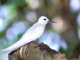 Fairy Tern, Aride Island, Seychelles, Africa Photographic Print by Pete Oxford