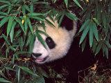 Panda Cub in the Bamboo Bush, Wolong, Sichuan, China Photographic Print by Keren Su