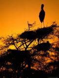 Painted Stork, Bharatpur, Keoladeo National Park, Rajasthan, India Reprodukcja zdjęcia autor Pete Oxford