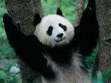 Panda Cub, Wolong, Sichuan, China Photographic Print by Keren Su