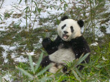 Panda Eating Bamboo on Snow, Wolong, Sichuan, China Photographic Print by Keren Su