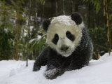 Panda Cub on Tree in Snow, Wolong, Sichuan, China Photographic Print by Keren Su