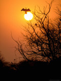 Darter at Sunset, Keoladeo National Park, Rajasthan, India Photographie par Pete Oxford