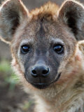 Young Spotted Hyena, Tanzania Photographic Print by Charles Sleicher