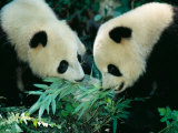 Pandas Eating Bamboo, Wolong, Sichuan, China Photographic Print by Keren Su