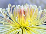 Chrysanthemum, Asakusa, Tokyo, Japan Photographic Print by Rob Tilley