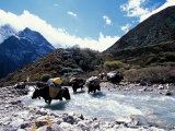 Yaks Crossing River to the Kangshung, Tibet Photographic Print by Vassi Koutsaftis