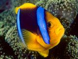 Anemonefish, Great Barrier Reef, Australia Fotografisk tryk af Stuart Westmoreland