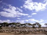 Sheep Station, Kangaroo Island, South Australia, Australia Fotoprint van Walter Bibikow