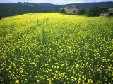 Yellow Flower Covered Fields of San Gimignano, Tuscany, Italy Photographic Print by Bill Bachmann