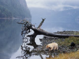 Sow with Cub, Rainforest of British Columbia Photographic Print by Steve Kazlowski