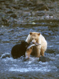 Sow with Cub Eating Fish, Rainforest of British Columbia Photographic Print by Steve Kazlowski