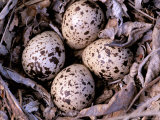 Nightjar Nest and Eggs, Thaku River, British Columbia, Canada Photographic Print by Gavriel Jecan