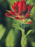 Indian Paintbrush Photographic Print by Chuck Haney