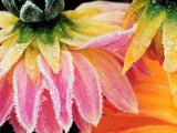Frost on the Last Blooms of Autumn, Sammamish, Washington, USA Fotodruck von Darrell Gulin