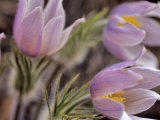 Pasque Flower, Giclee Print