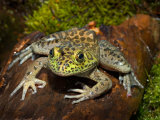 Bullfrog on Log Lámina fotográfica por Maresa Pryor