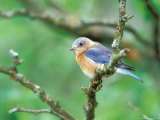 Female Eastern Bluebird Lámina fotográfica por Adam Jones