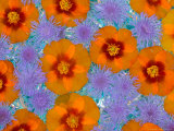 Floating Flowers in Glass Bowl, Blue Ageratum and Orange Blooms, Sammamish, Washington, USA Photographic Print by Darrell Gulin