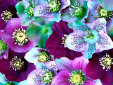 Heliborus Pattern of Winter Blooming Flower, Sammamish, Washington, USA Photographie par Darrell Gulin