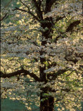 Dogwood Tree Filled with Blooms in Springtime Photographic Print by Gayle Harper