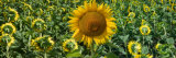 Sunflowers Photographic Print by Keren Su