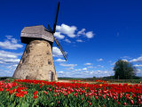 Red Tulips Surround a Traditional Windmill in Gauja National Park, Latvia Photographic Print by Janis Miglavs