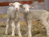 Pair of Commercial Targhee Lambs Stampa fotografica di Chuck Haney