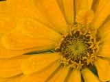 Yellow Zinnia Close-up Sammamish, Washington, USA Photographic Print by Darrell Gulin