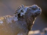 Marine Iguana, Galapagos Islands, Ecuador Fotografie-Druck von Gavriel Jecan