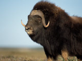 Musk Ox Bull on the North Slope of the Brooks Range, Alaska, USA Photographic Print by Steve Kazlowski
